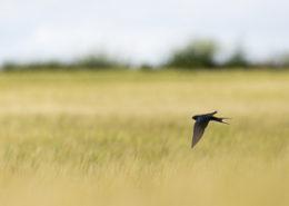 Hirondelle rustique survolant un champ de céréales
