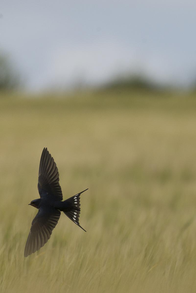 Juillet 2017 Hirondelle rustique en vol au dessus d'un chant de céréales