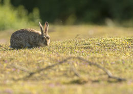 Lapin de garenne se nourrissant de jeunes pousses d'herbe