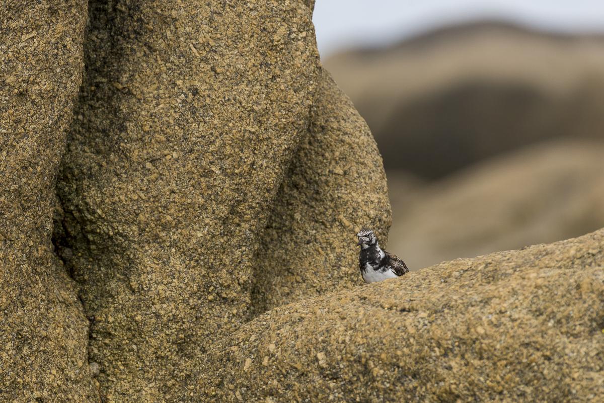 Tournepierre à collier posé sur un rocher