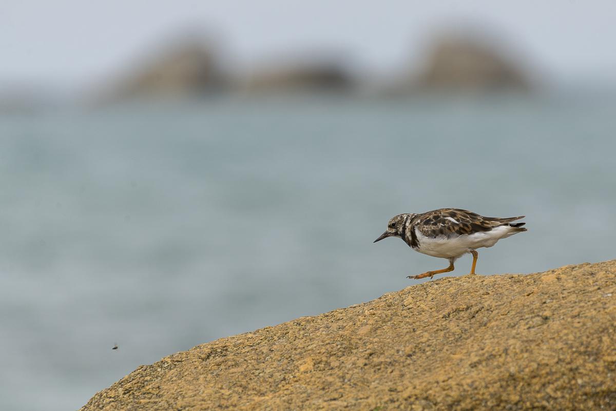 Tournepierre à collier marchant sur un rocher en bord de mer