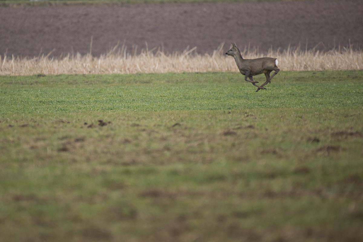 Chevreuil européen court dans un champ