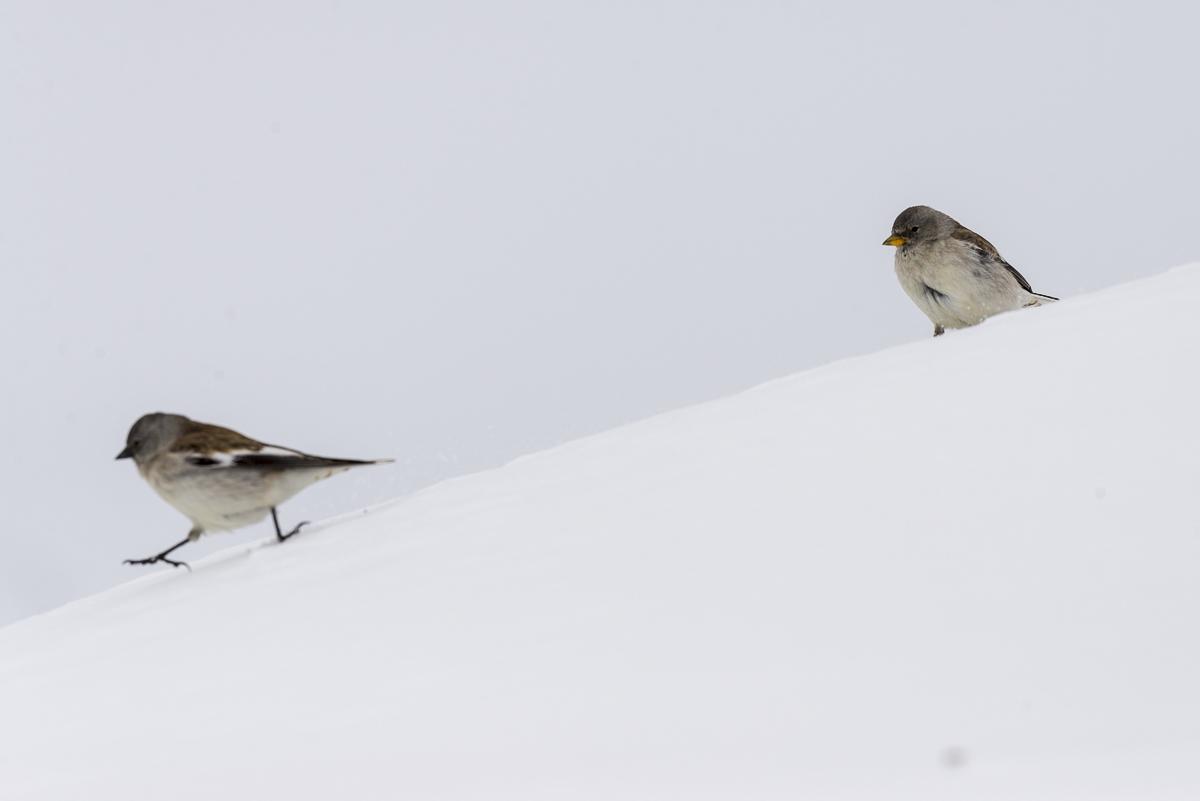 Niverolle alpine deux individus sur un tas de neige