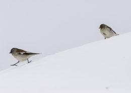 Niverolle alpine deux individus dans la neige