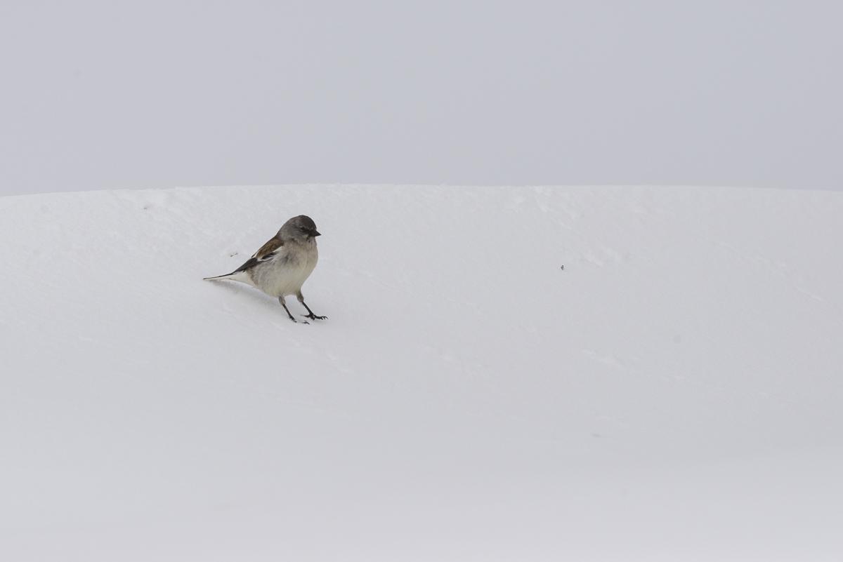 Niverolle alpine semble glisser sur une pente enneigée