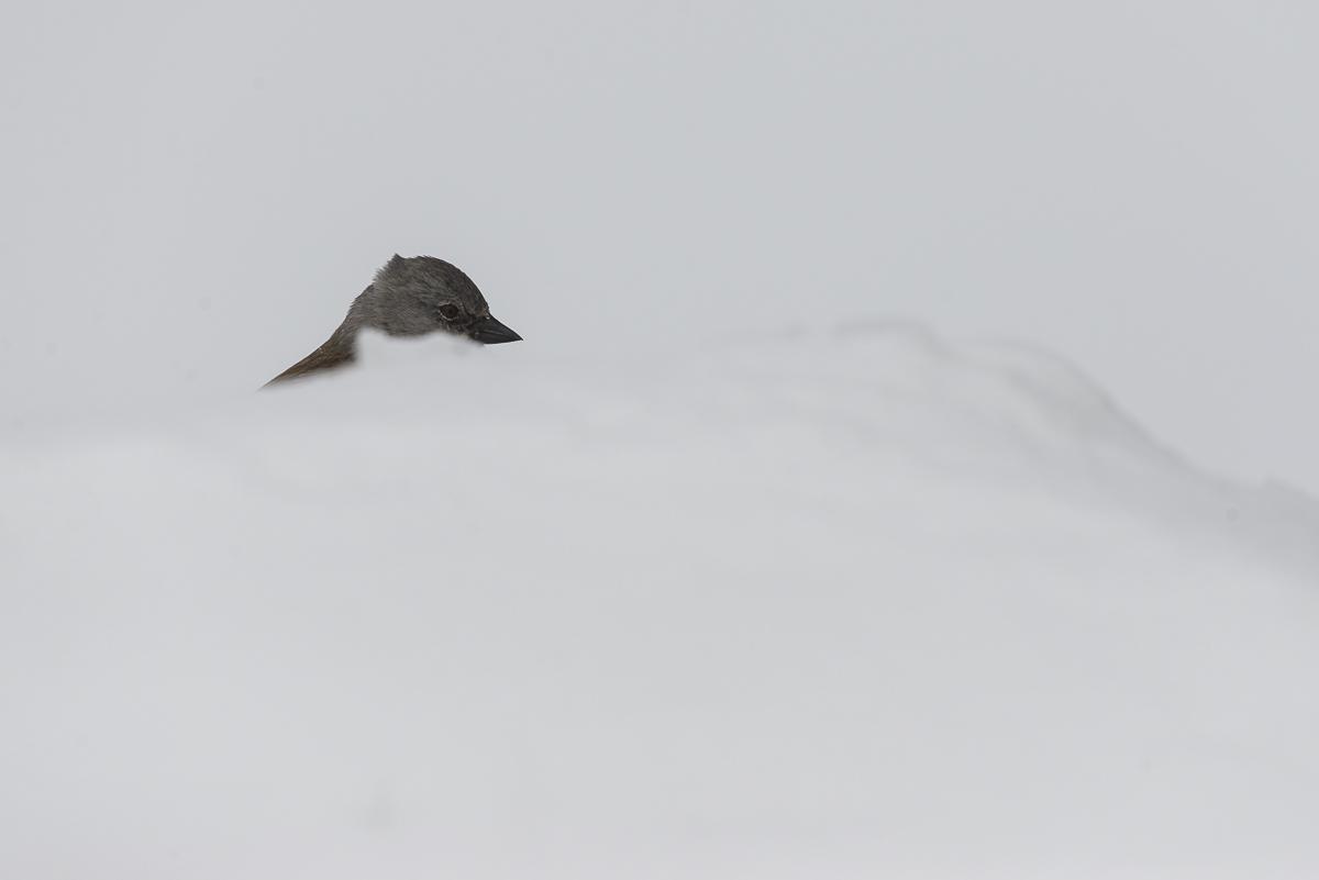 Niverolle alpine seule sa tête dépasse d'un monticule de neige