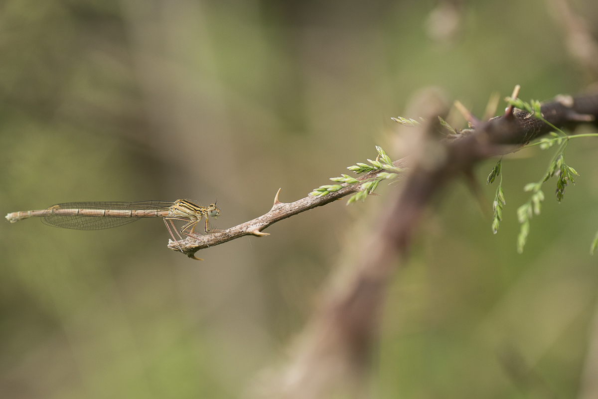 Agrion à larges pattes posé sur une branche