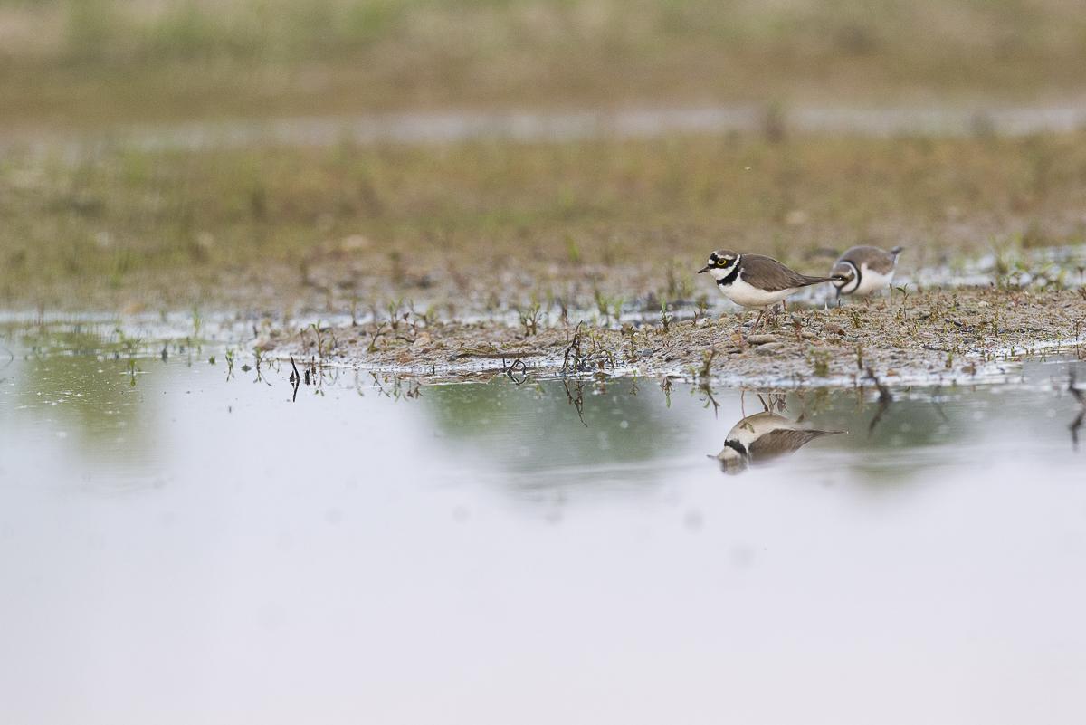 Petit gravelot mâle et femelle au bord de l'eau