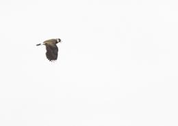 Vanneau huppé en vol sur fond de ciel blanc