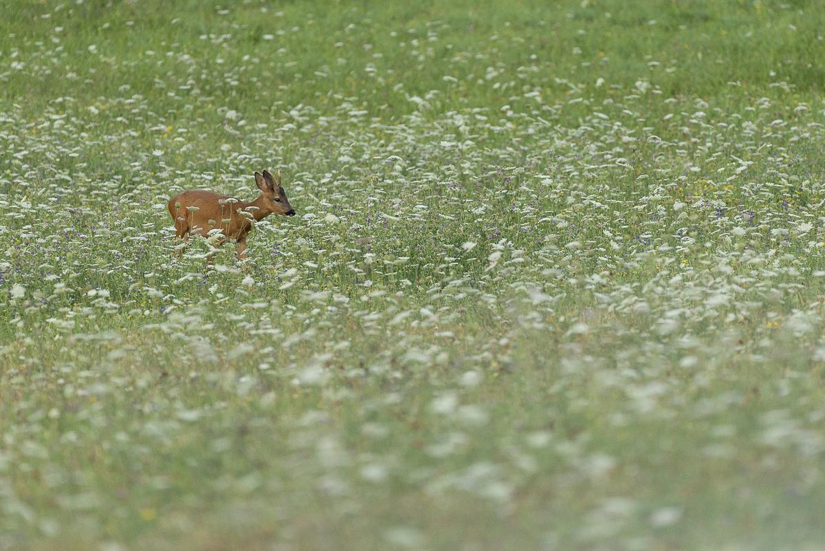 Chevreuil européen dans une prairie en fleur