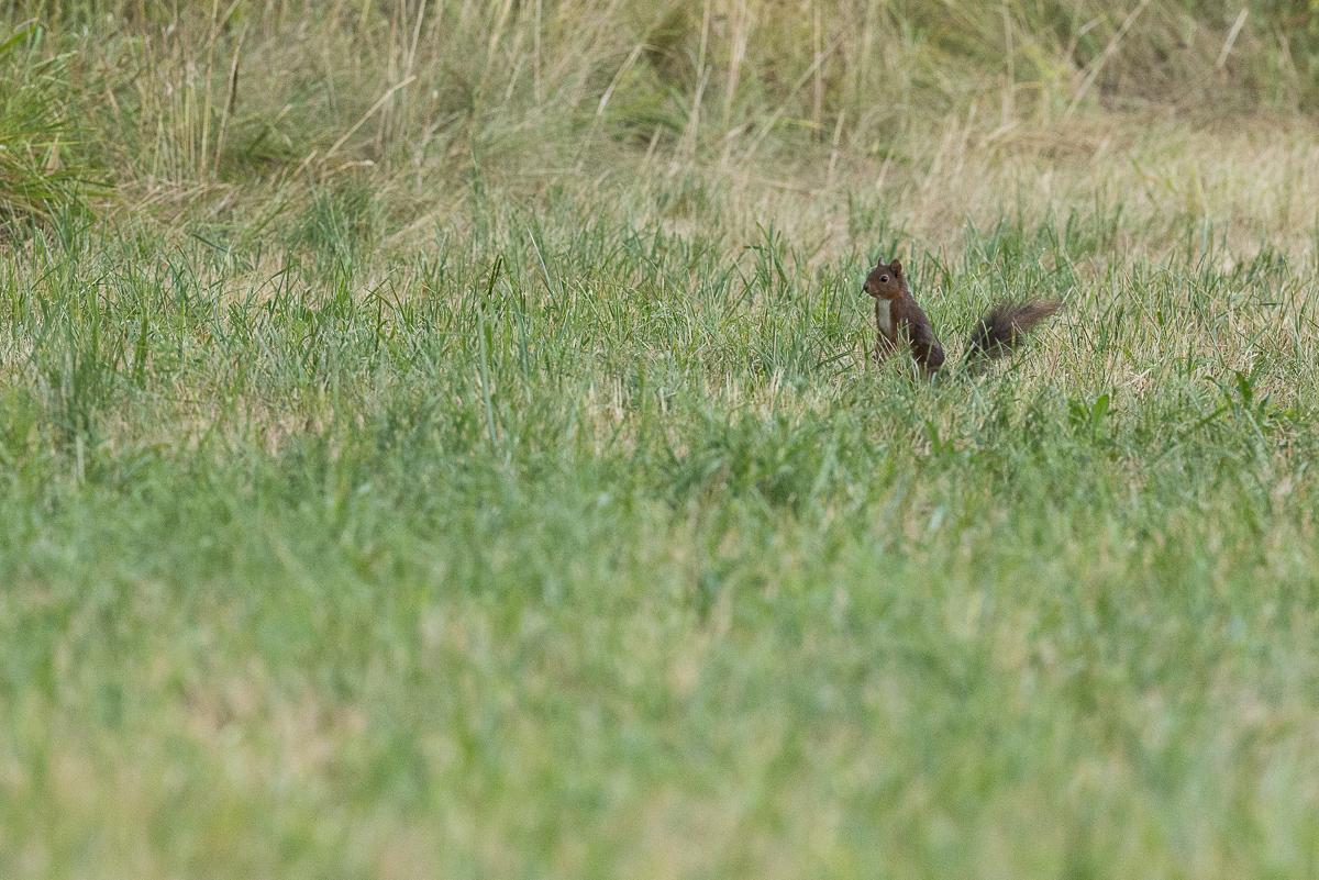 Ecureuil roux dressé dans l'herbe