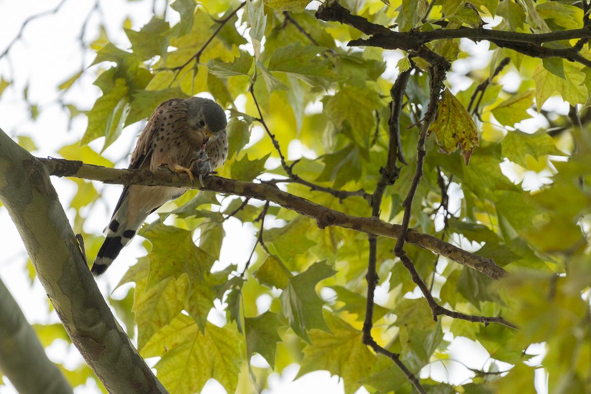 Faucon crécerelle se nourrit dans un arbre