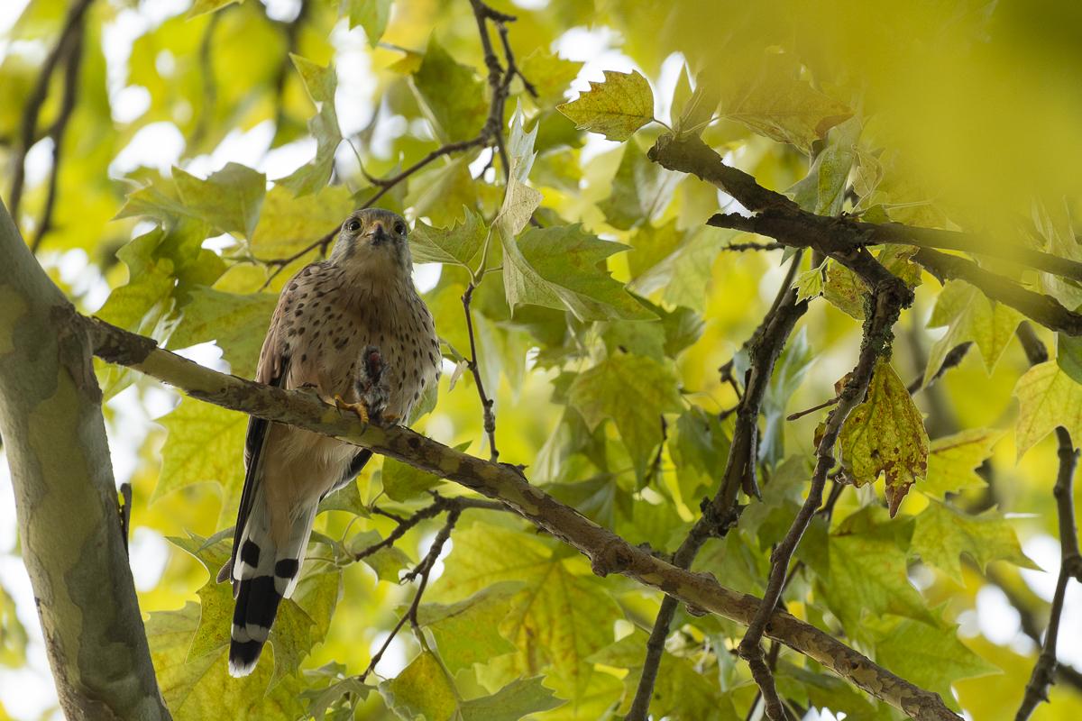 Faucon crécerelle sur une branche avec une proie dans ses serres