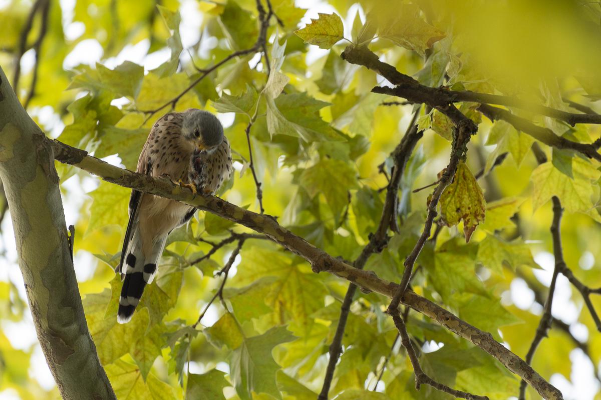 Faucon crécerelle dévore une proie sur une branche