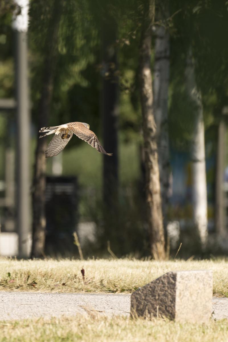 Faucon crécerelle en vol en milieu urbain