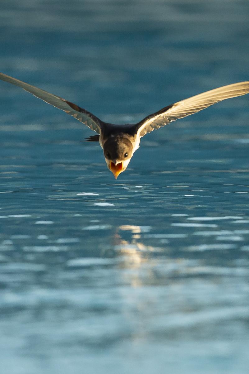 Hirondelle de fenêtre en vol au dessus de l'eau bouche ouverte