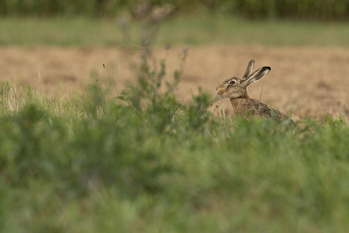 Lièvre d'Europe se nourrit d'herbes dans un champ