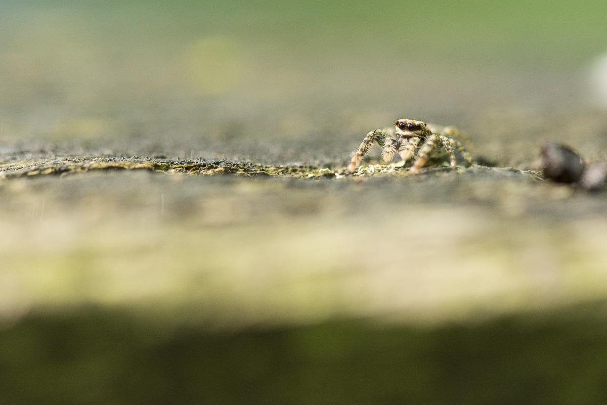 Salticide à l'affût sur un morceau de bois