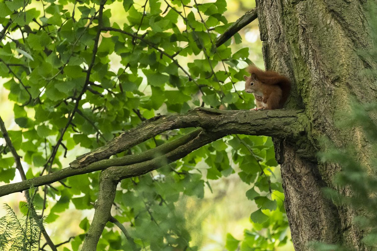 Ecureuil roux au repos sur une branche les pattes sur le ventre