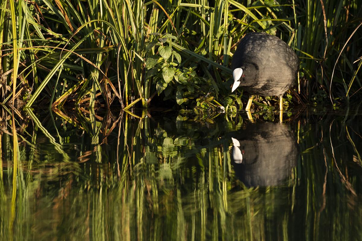Foulque macroule et son reflet dans l'eau