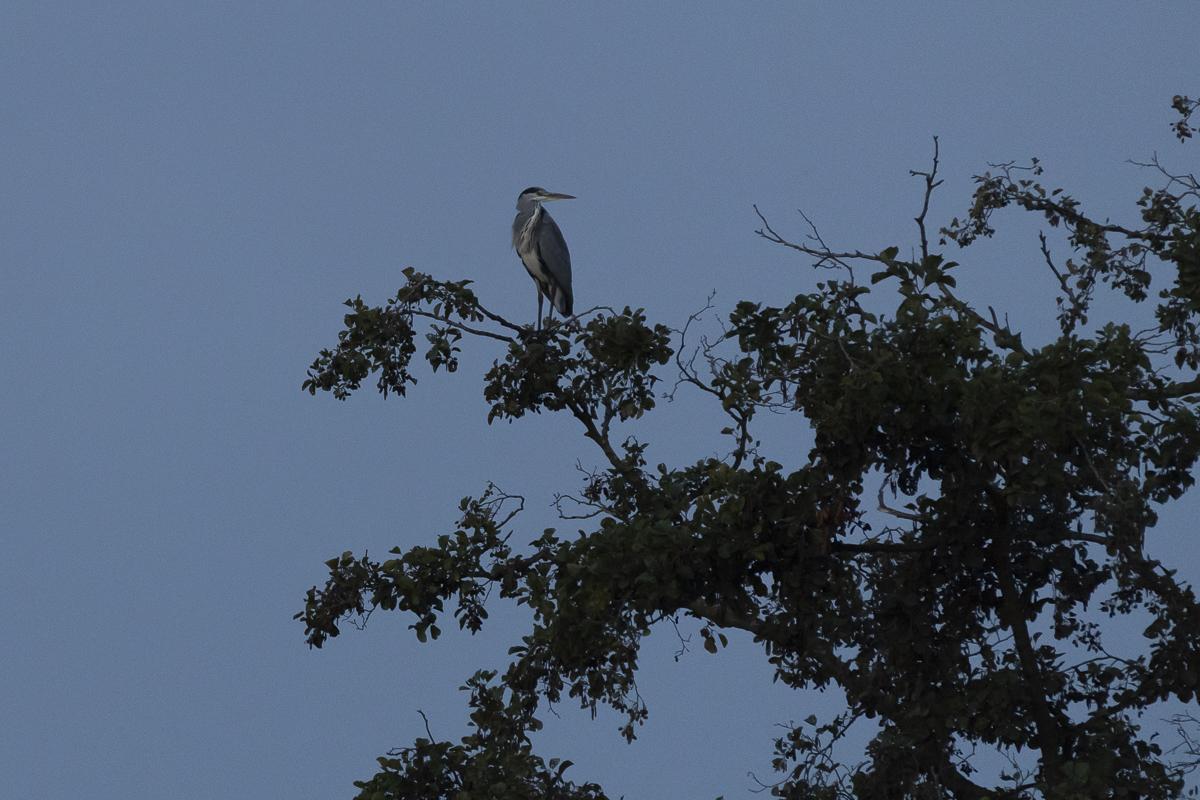 Héron cendré dans un arbre au lever du jour