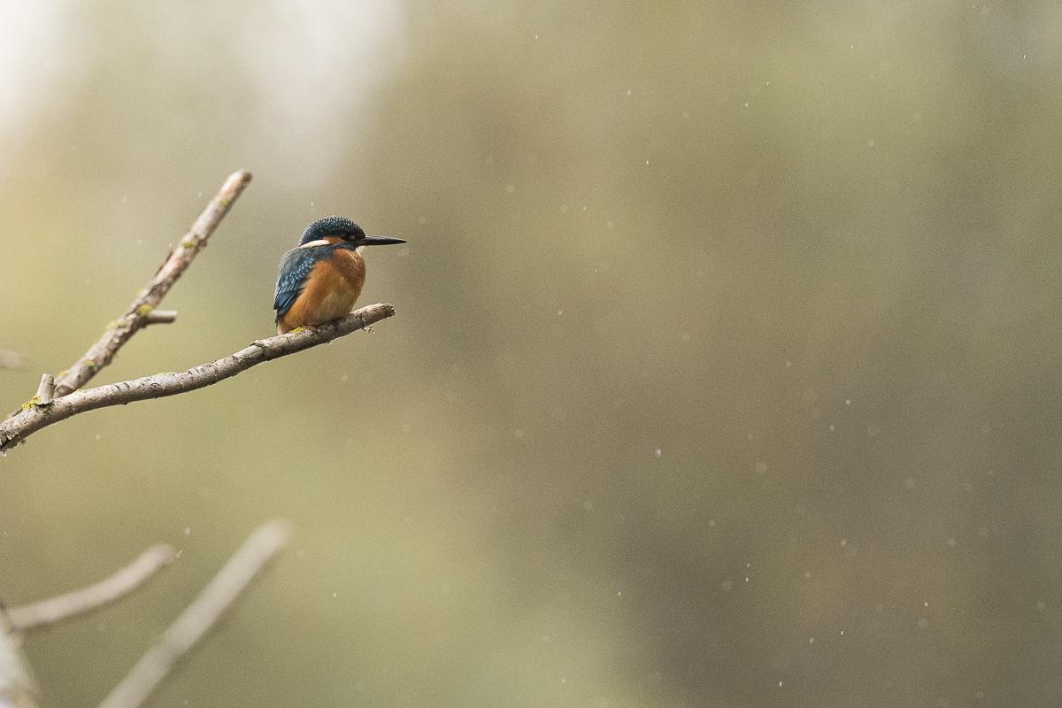Martin pêcheur sur une branche sous une légère pluie
