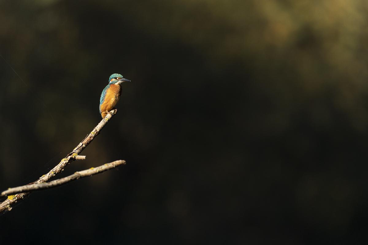 Martin pêcheur à l'affût sur une branche éclairée par les premiers rayons du soleil