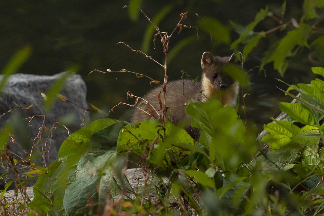 Photo animalière Martre des pins m'observe derrière des feuillages