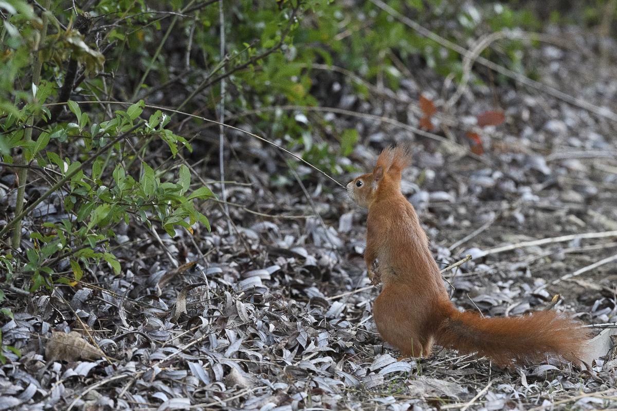 Ecureuil roux dressé sur ses pattes humant une brindille