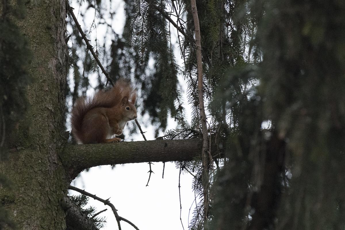 Ecureuil roux au repos sur une branche dans un grand sapin