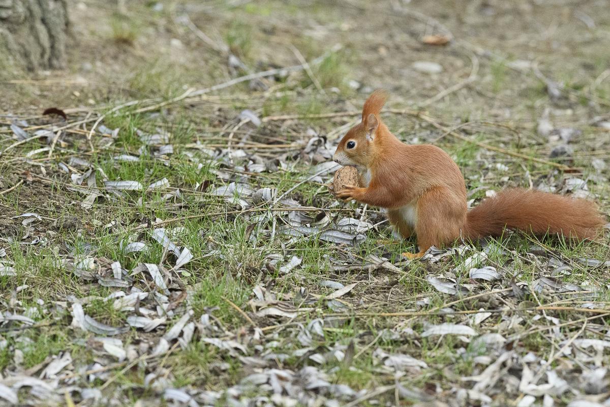 Ecureuil roux tenant une noix dans ses pattes antérieures