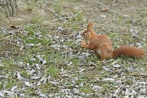 Février 2019 Ecureuil roux (Sciurus vulgaris) tenant une noix dans ses pattes avant