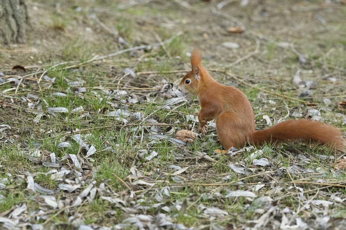 Ecureuil roux dressé au sol devant une noix
