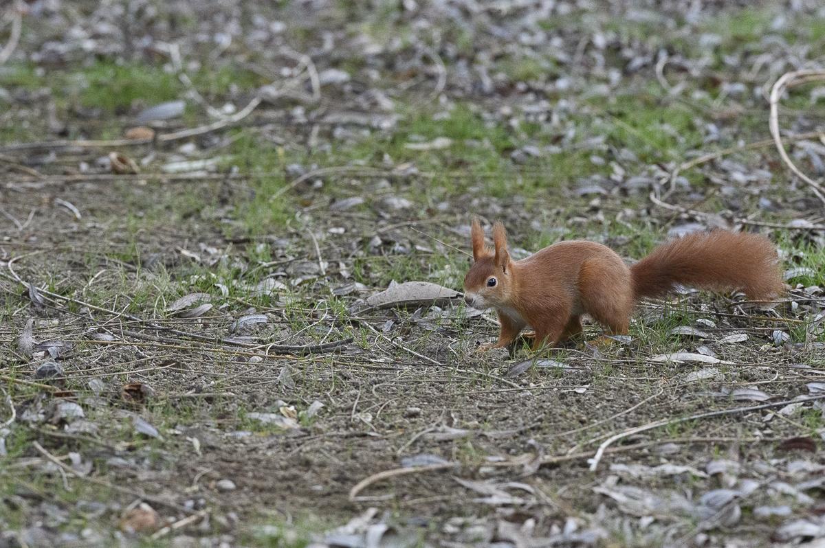 Ecureuil roux au sol à la recherche de nourriture