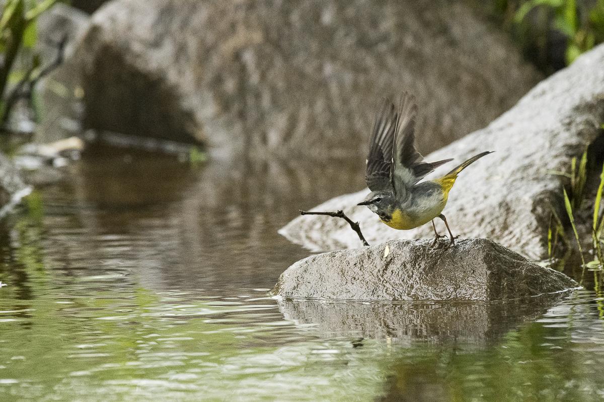 Bergeronnette des ruisseaux s'apprête à décoller