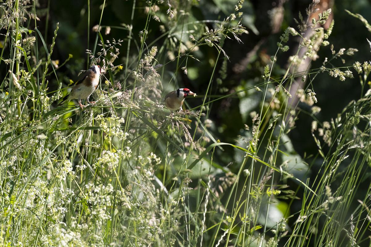 Chardonneret élégant (Carduelis carduelis) deux individus se nourrissent dans les graminés