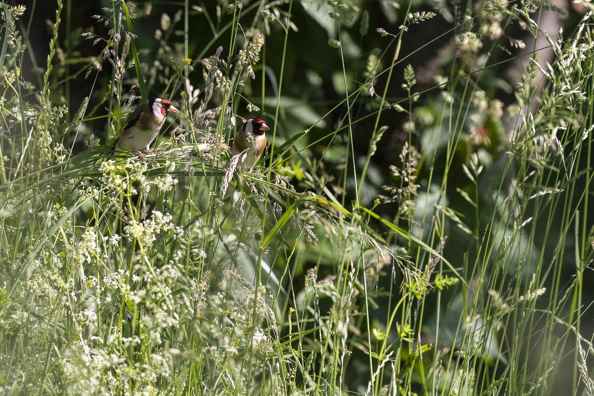 Chardonneret élégant deux individus posés dans les hautes herbes