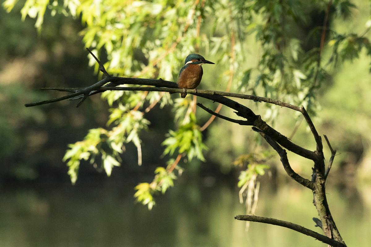 Martin pêcheur à l'affût dans un arbre mort